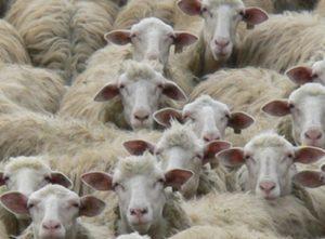 pecore-300x221